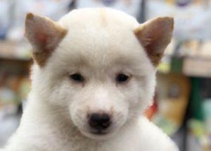 柴犬(白)