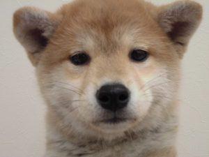 新入生☆柴犬